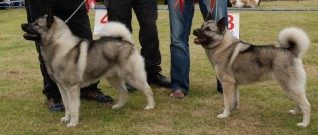 Norskelghund