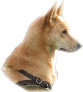 halleforshund